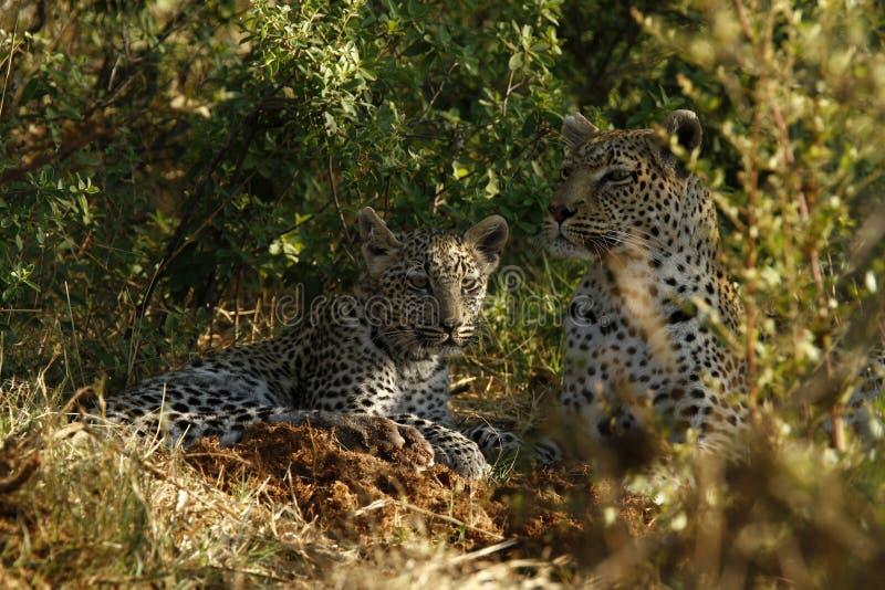Leopard-Aufpassen lizenzfreie stockfotografie