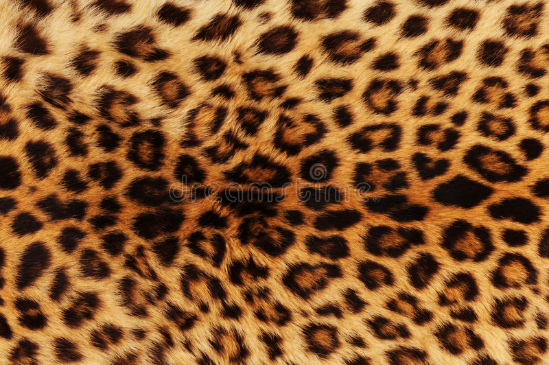 Download Leopard background stock photo. Image of background, carnivorous - 13383916