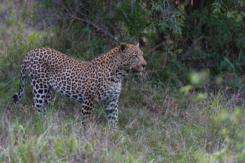 Download Leopard In The Beauty Of African Bush Stock Image - Image: 36536511