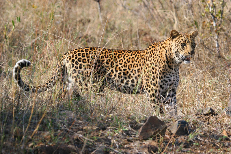 Download Leopard Big Spotted Cat Standing Royalty Free Stock Image - Image: 11141876