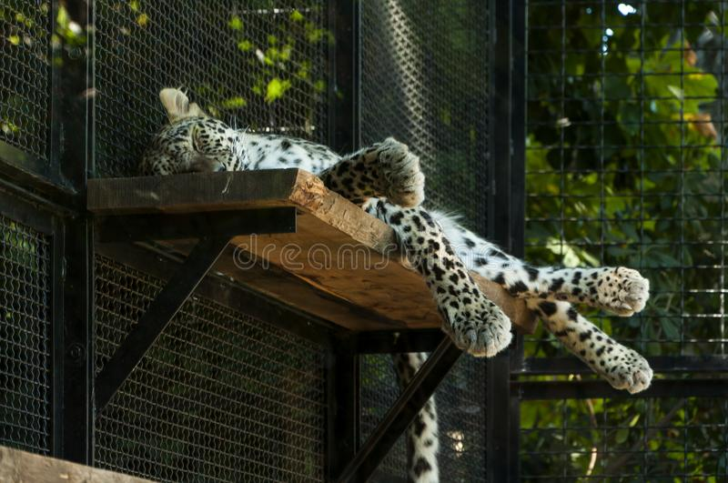 Leopard at Bioparco. Rome, Italy. Sleeping leopard at Bioparco zoo stock photography