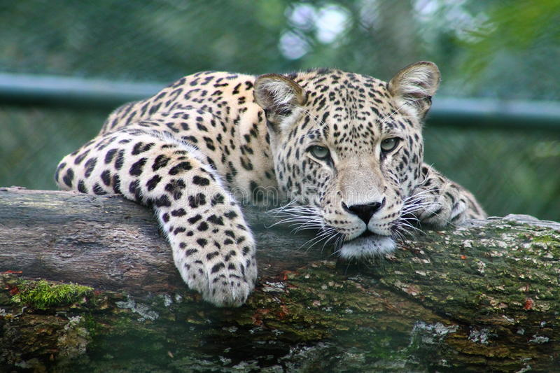 Leopard On Black And Green Logs During Daytime Free Public Domain Cc0 Image