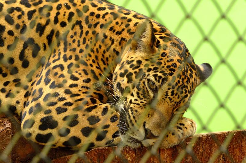 Leopard On Cage In Closeup Photography Free Public Domain Cc0 Image