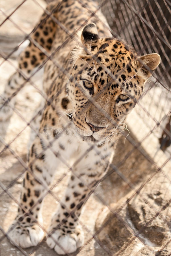 Leopard in captivity. Behind a fence royalty free stock photo