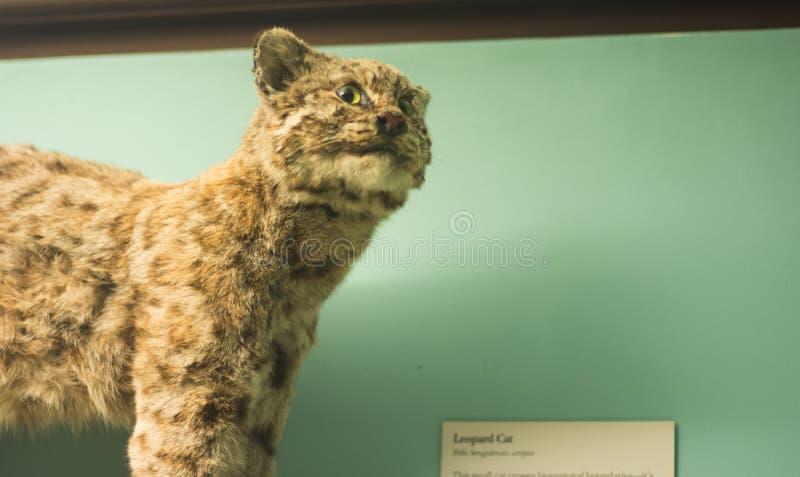 Leopard cat stock image