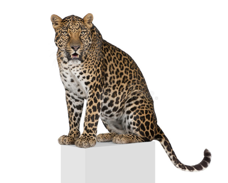 Leopard climbing in front of a white background royalty free stock photo