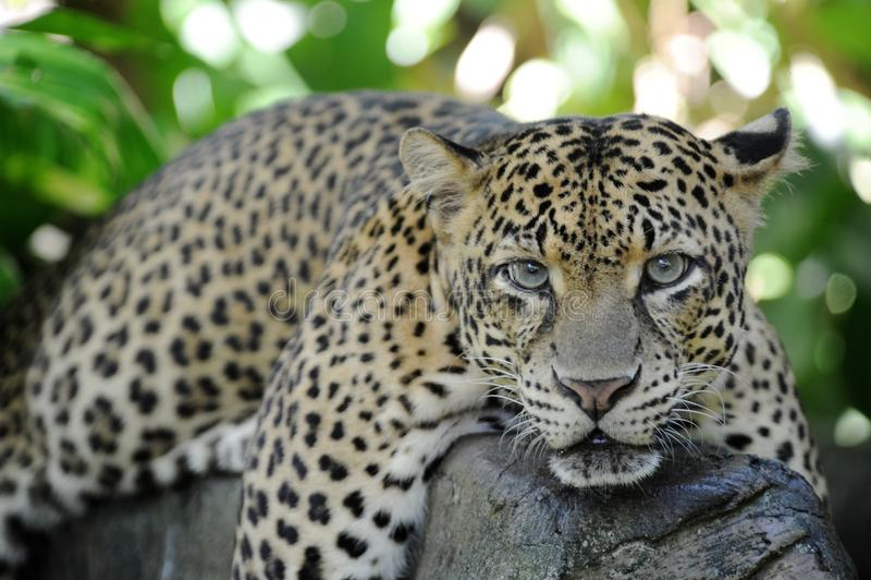 Leopard. A close up shot of an African Leopard stock photos