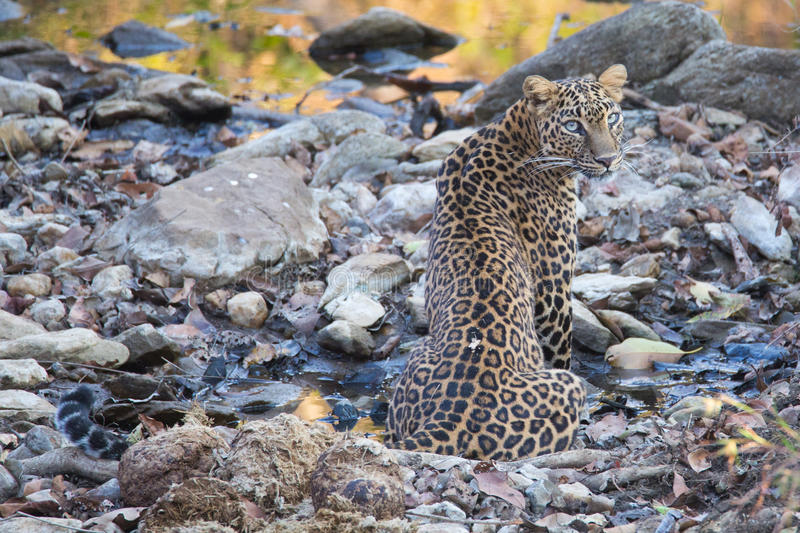 Leopard cooling off. Canon 6D 450mm ISO 800 1/400 f5.6 Leopard sighted in forests of western ghats of Karnataka, india royalty free stock photo