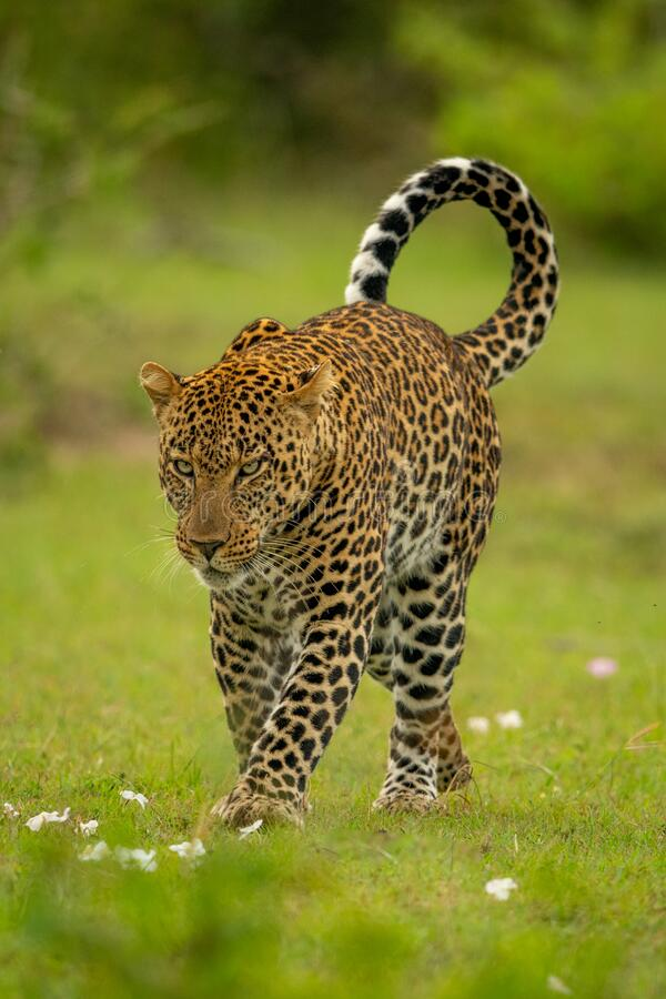 Free Leopard Crosses Short Grass With Head Lowered Royalty Free Stock Images - 191280829