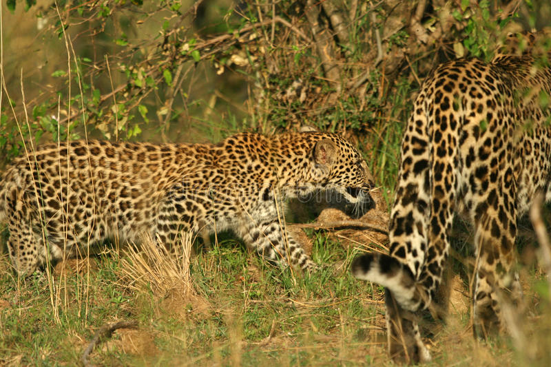 Download Leopard cub stock photo. Image of pardus, african, africa - 10782262