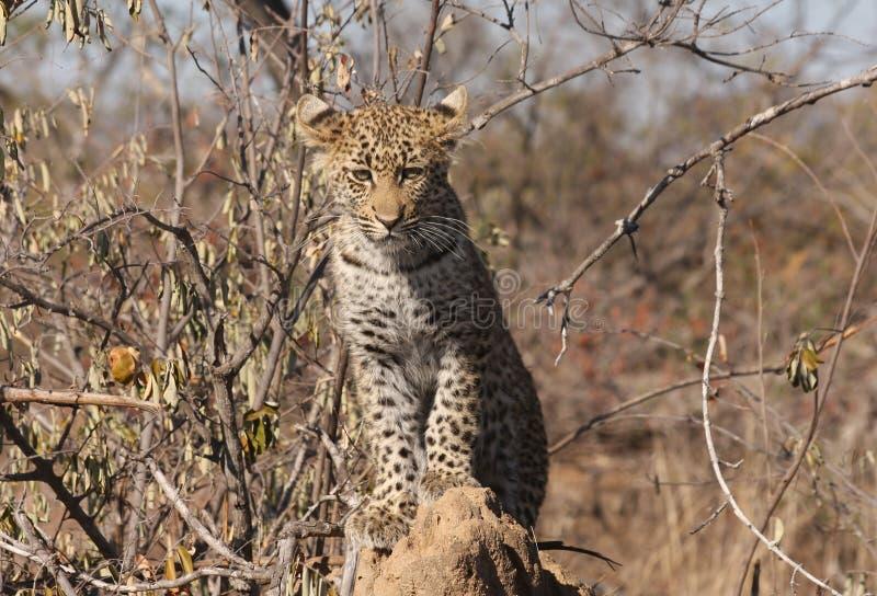 Leopard Cub Stock Photography