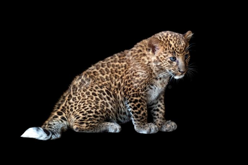 Leopard cub on a black background royalty free stock photography