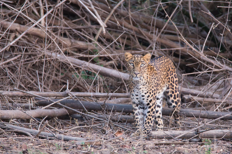 Leopard cub. Canon 6D 450mm ISO 800 1/400 f5.6 Leopard sighted in forests of western ghats of Karnataka, india stock photography