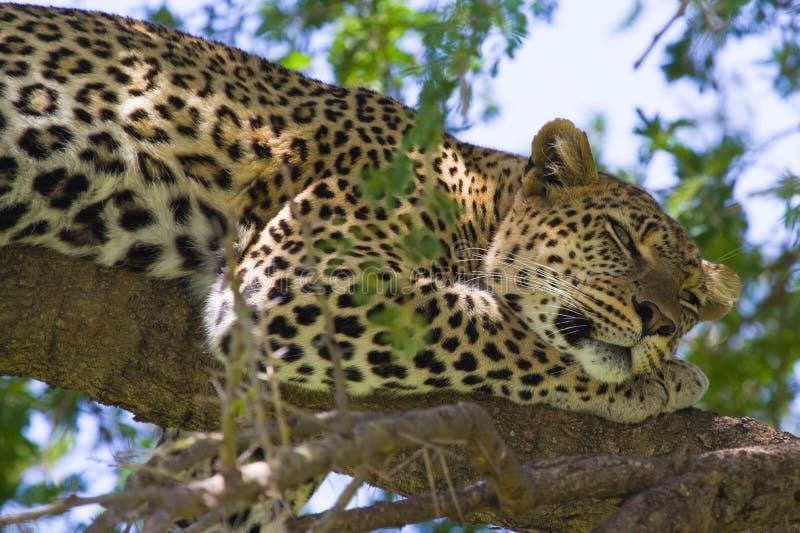 Leopard in den Baumaugen öffnen sich lizenzfreies stockbild