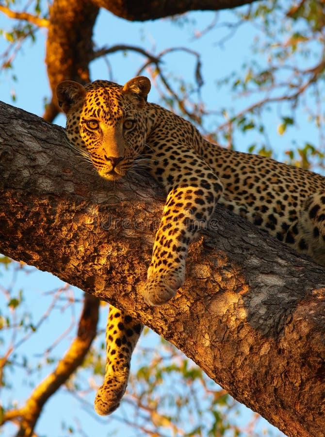 Leopard, der auf dem Baum liegt lizenzfreies stockbild