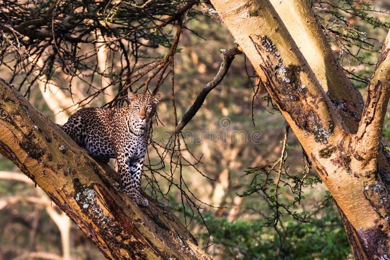 Leopard, der auf dem Baum sich versteckt Nakuru, Kenia afrika lizenzfreies stockfoto