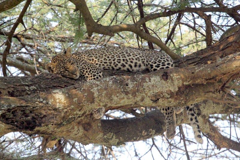 Leopard, der auf einem Baum stillsteht stockfotografie