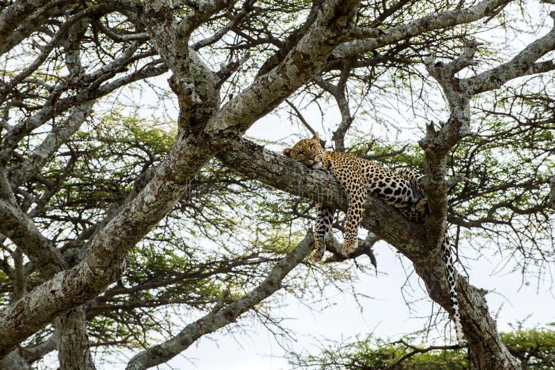 Leopard, der auf einer Niederlassung, Serengeti stillsteht lizenzfreies stockbild