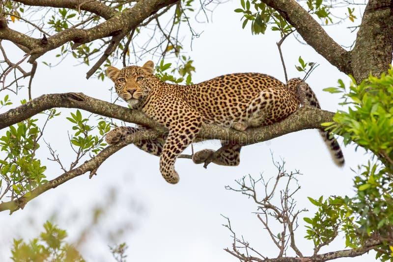 Leopard, der auf Niederlassung liegt lizenzfreie stockfotografie