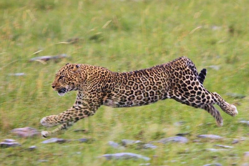Leopard in der Bewegung lizenzfreie stockfotografie