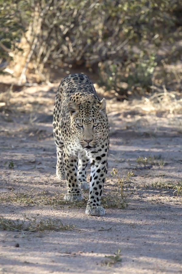 Leopard, der in das wilde geht stockfotos