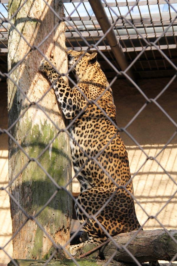 Leopard, der den Baum verkratzt stockbilder