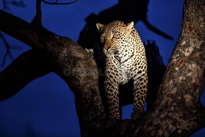 Leopard, der in einem Baum steht stockfotografie