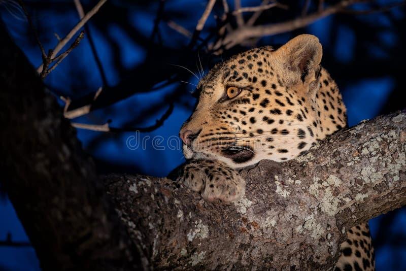 Leopard, der in einem Baum stillsteht stockfotos