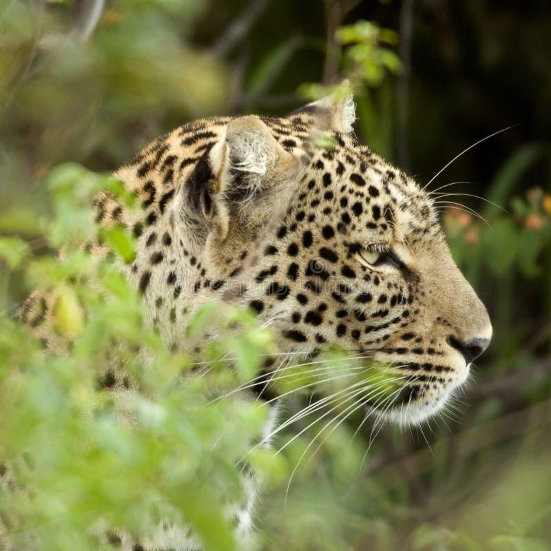 Leopard in der serengeti nationalen Reserve stockfotografie