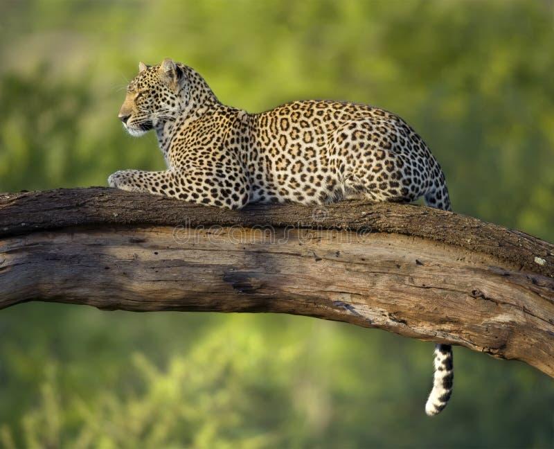 Leopard in der serengeti nationalen Reserve lizenzfreie stockbilder