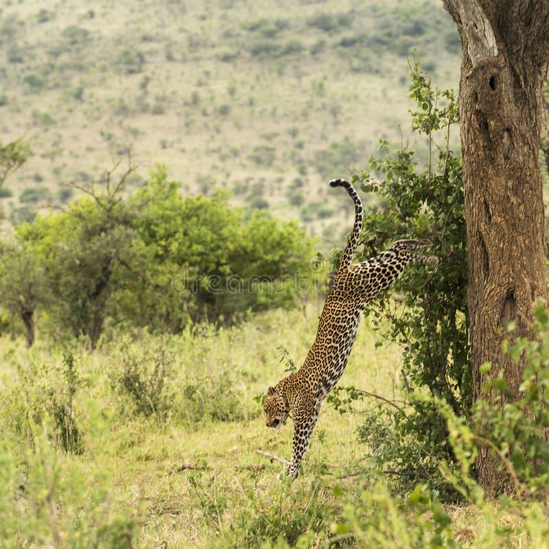 Leopard, der unten von einem Baum, Serengeti, Tansania erhält stockfoto
