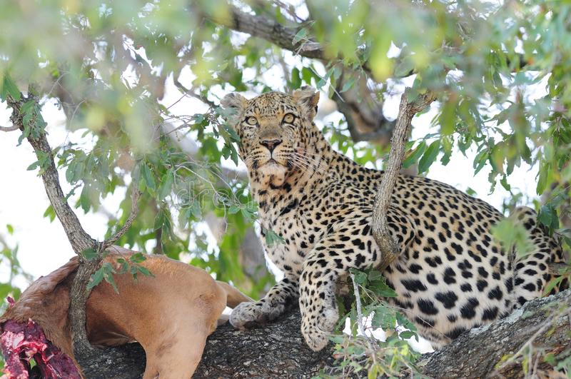 Leopard in einem Baum stockbild