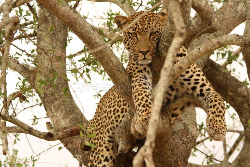 Leopard in einem Baum stockfotografie