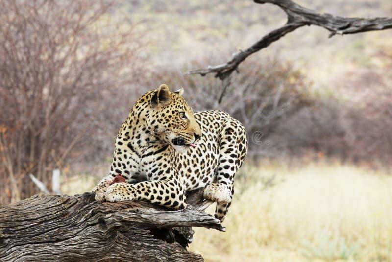 Leopard entspanntes Lügen in einem Baum lizenzfreie stockfotografie