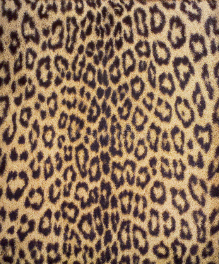 leopard för 3 päls arkivfoton