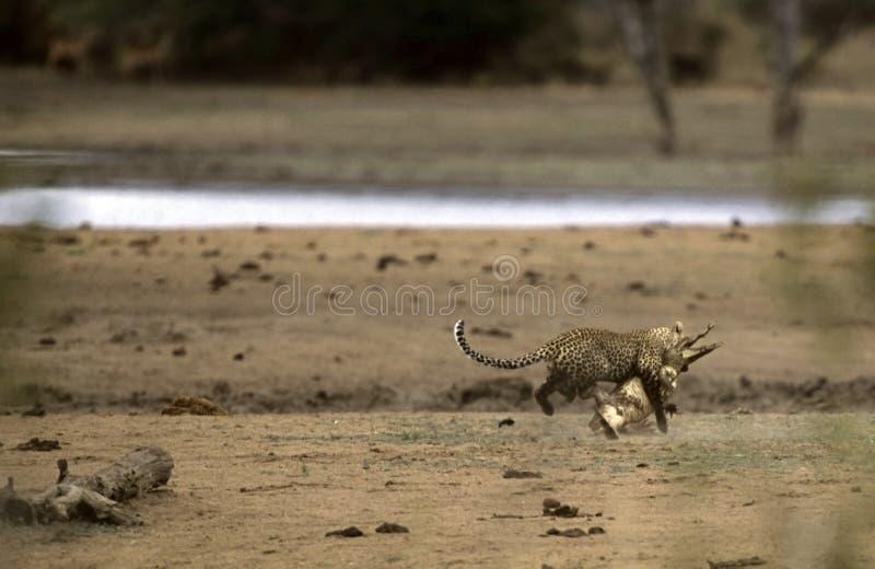 leopard för africa anfalla krokodilkruger fotografering för bildbyråer