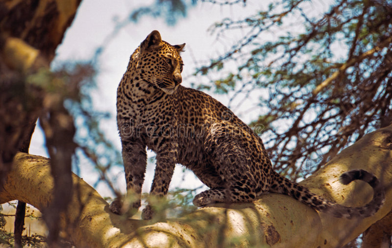 Leopard in fevertree. Leopard on branch in fevertree. Taken in Ngorongoro crater, Tanzania stock photos