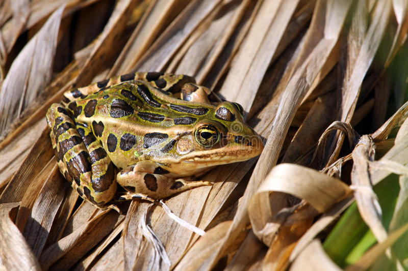 Leopard Frog. Warming in morning sun on marsh grass stock photography
