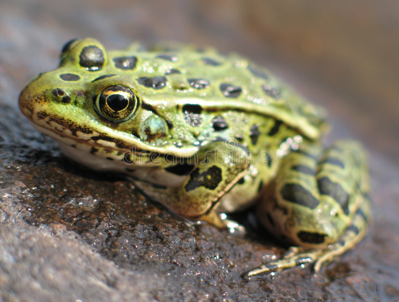 Leopard Frog 2. Leopard frog on rock in river royalty free stock photo