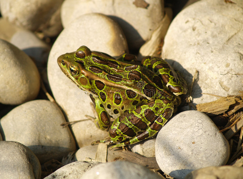 Leopard Frog. A spotted leopard frog sits in the sun among several rocks stock image