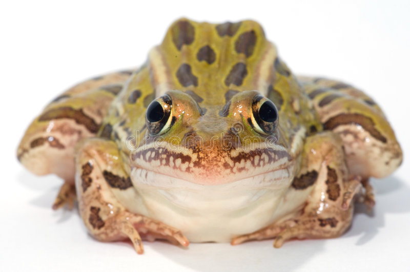 Leopard Frog. Photograph of a Leopard Frog isolated on-white stock photography