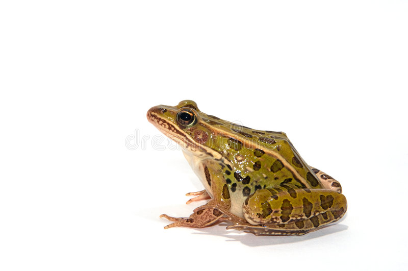Leopard Frog. Photograph of the side profile of a Leopard Frog isolated on-white royalty free stock image