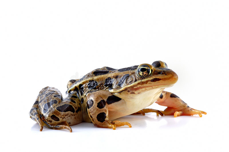 Leopard frog. A Leopard Frog isolated on a white background royalty free stock photos