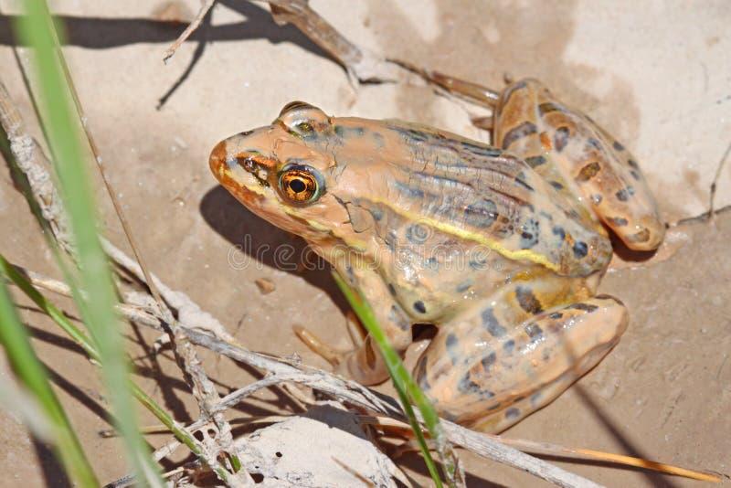 Leopard Frog Badlands South Dakota royalty free stock photo