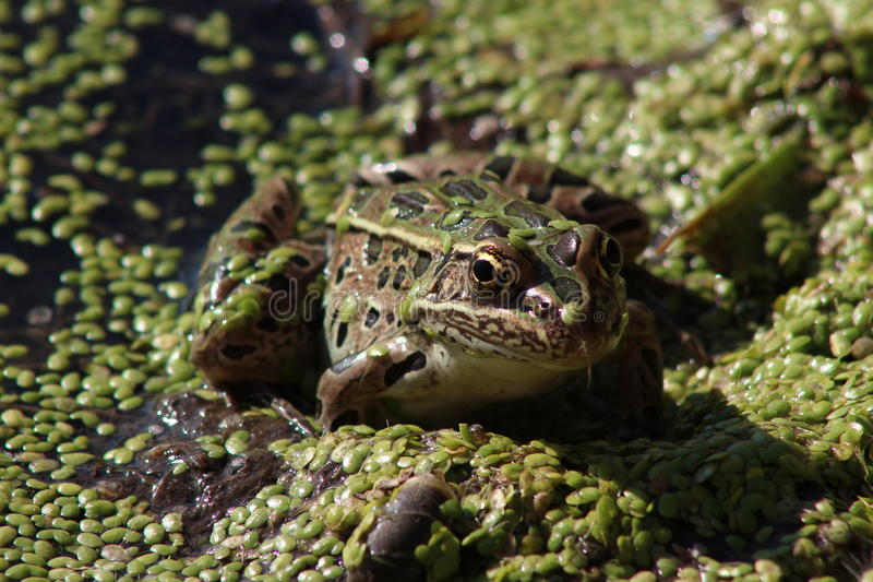Leopard Frog in Duckweed royalty free stock image