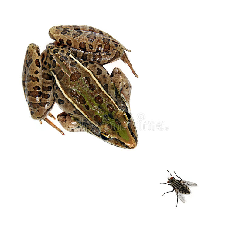 Leopard Frog and fly. Studio shot of a Southern Leopard Frog (Rana sphenocephala) and a house fly on a solid white background royalty free stock images