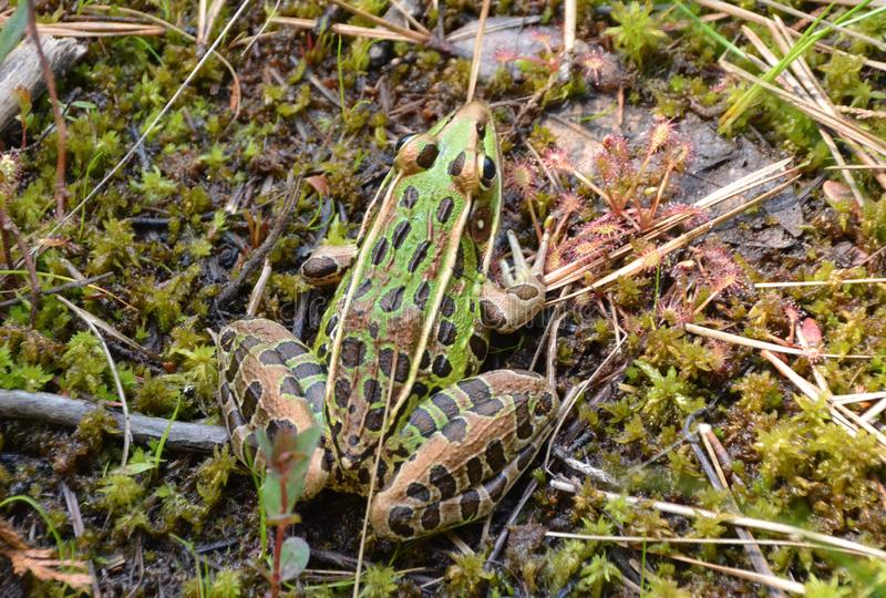 Leopard Frog. A leopard frog, genus Lithobates, on a  bed of sphagnum moss. Its right front foot is resting in a patch of carnivorous spoon leaf sundew plants royalty free stock images