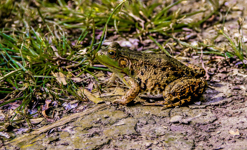 Leopard frog. In grass, Ontario, Canada royalty free stock photo