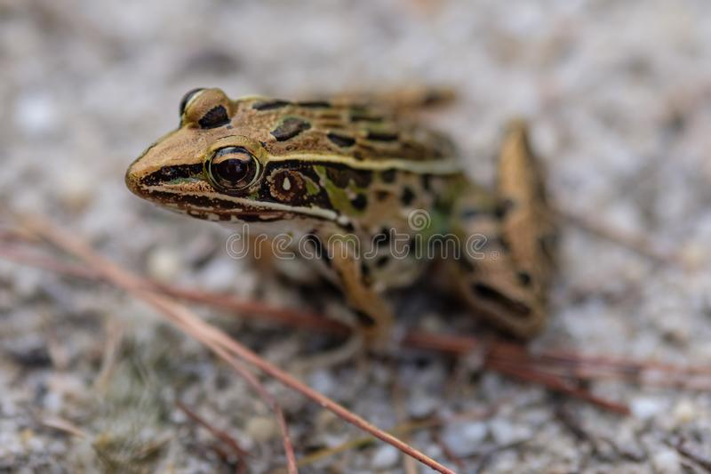 Leopard Frog. A leopard frog on the ground stock photo