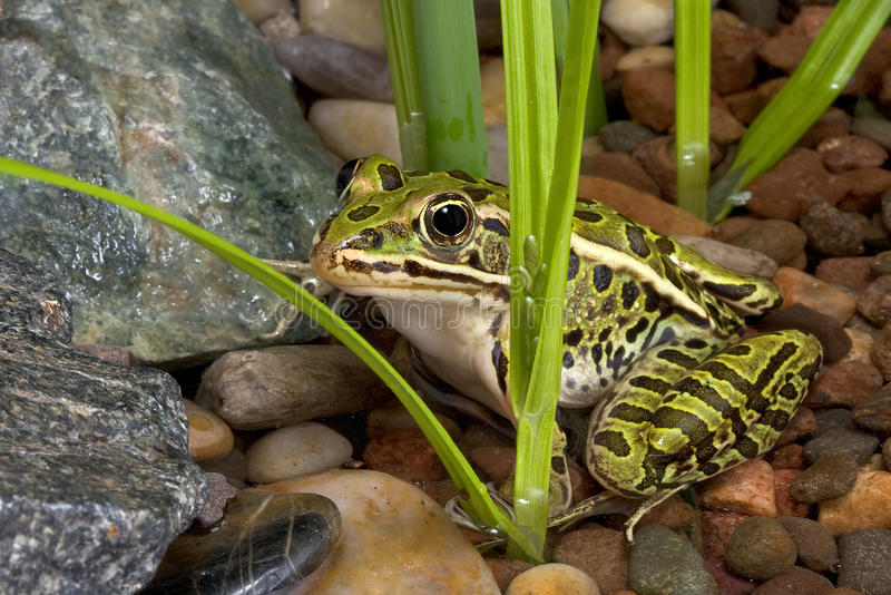 Leopard frog in pond. A leopard frog is sitting in a shallow pond royalty free stock images